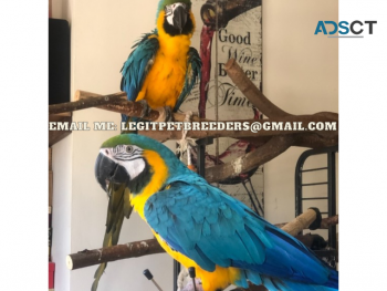 ADORABLE MACCAW PARROTS FOR A NEW HOME