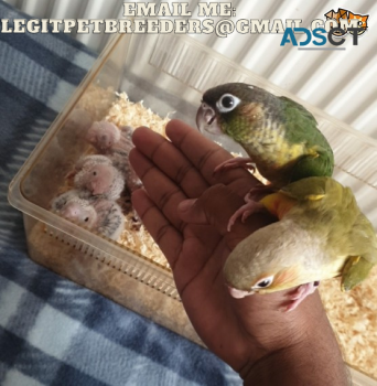 AMAZING TAMED CONURE BIRDS AVAILABLE