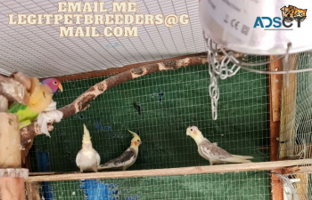 CUTE COCKATIEL BIRDS FOR SALE
