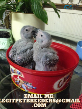 TALKING AFRICAN GREY PARROTS LOOKING FOR