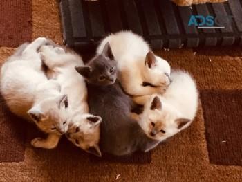 TONKINESE  KITTENS LITTER AVAILABLE