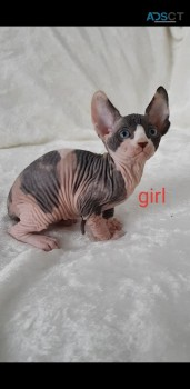 ATTRACTIVE SPHYNX KITTENS BABIES FOR SAL