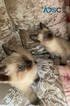 HEALTHY  SIAMESE KITTENS READY NOW