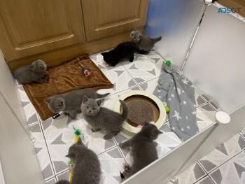 Quality British Shorthair Kittens