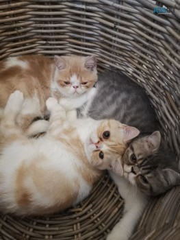 Exotic Shorthair Kittens ready to leave