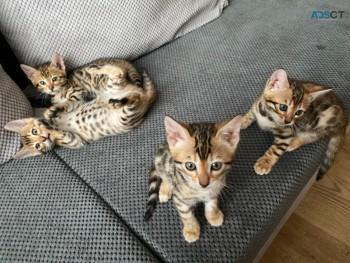 Stunning Pure Bengal Kittens