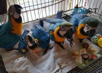 Gorgeous Blue and Gold Macaw Parrots