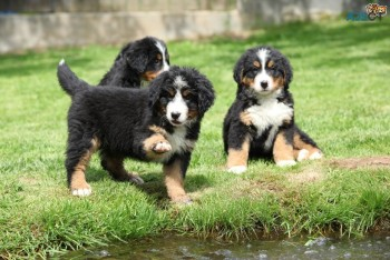 FULL BREED BERNESE MOUNTAIN PUPPIES FOR