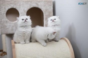 Purebred British shorthair kittens for s