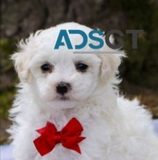 Maltipoo puppies call. 202-858-7815 now