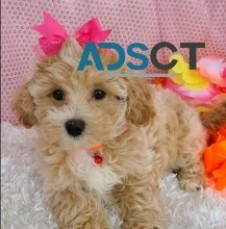 Maltipoo puppies. Call 202-858-7815