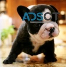 French bulldog puppies, ☎(727) 489-4209