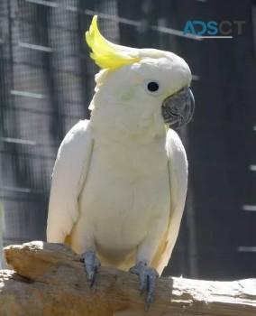 umbrella cockatoo parrots