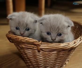 Pure Scottish Fold Kittens