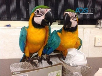 Friendly Blue and Gold Macaw Parrots