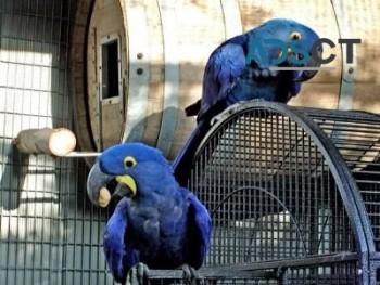 Hyacinth Macaw Babies