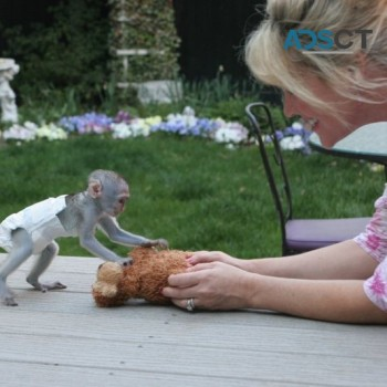Charming Capuchin Monkey's Available