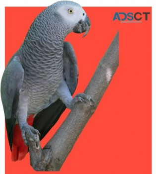 Welcome to African Grey Parrots Home.