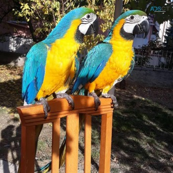 Female Blue and gold Macaw
