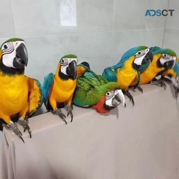 Hyacinth  Hola Macaw parrots