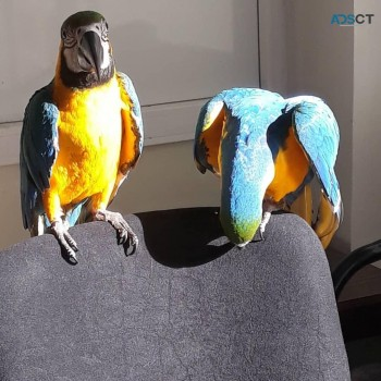DNA papers  Blue & Gold macaw