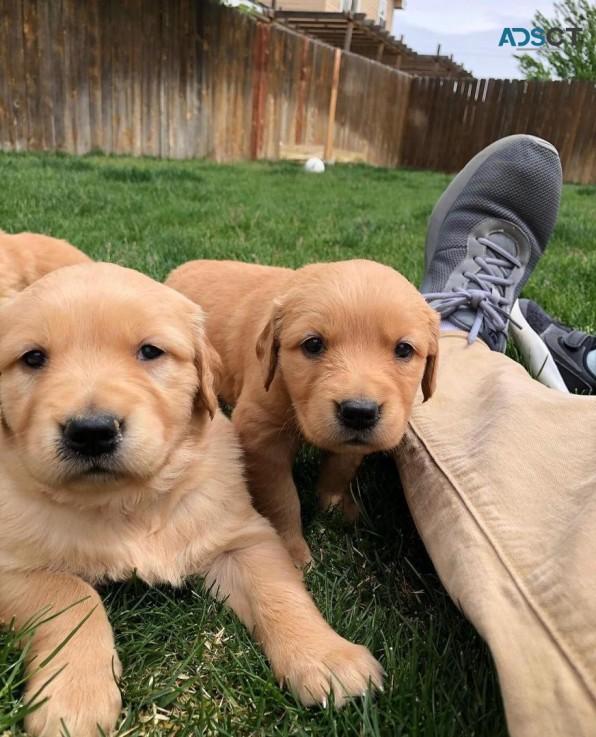 Adorable Golden Retrievers  For Sale