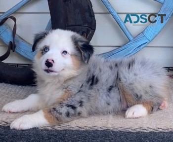 Top Quality puppies Australian Shepherd