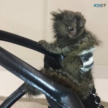 well tame marmoset monkey for adoption