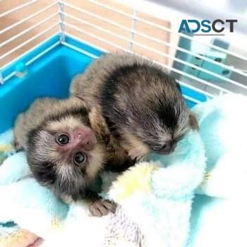 Two baby marmoset monkeys  (765314-6884
