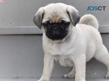 Chinchilla Pug Puppies For Sale
