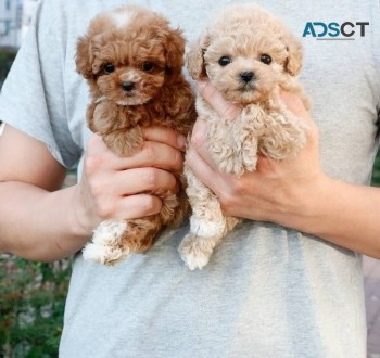 Elizabeth Poodle Puppies For Sale
