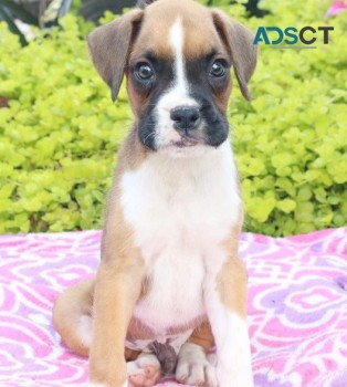 Forrest  Boxer Puppies For Sale