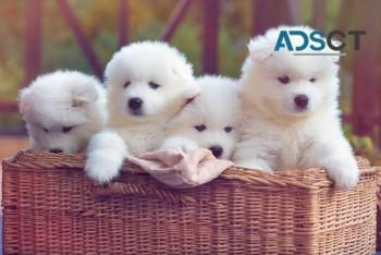 Christmas Samoyed  Puppies Ready